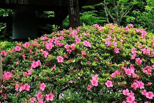 150524東慶寺サツキ2