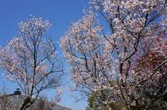 130319東慶寺ヒガンザクラ