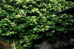 170601東慶寺イワガラミ1