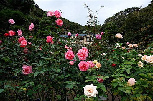 161109鎌倉文学館バラ1