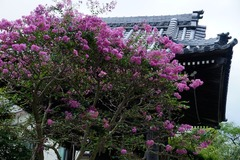 140904本覚寺サルスベリ