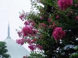 060812本覚寺サルスベリ