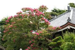 080810成福寺サルスベリ