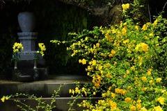 140406海蔵寺ヤマブキ