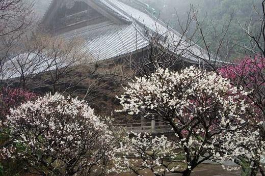 120317妙本寺ウメ2