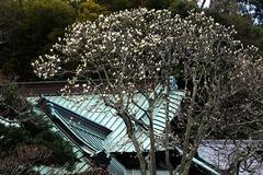 140321東慶寺ハクモクレン