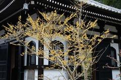 120307長谷寺マンサク