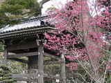 050320長谷寺寒緋桜(カンヒザクラ)