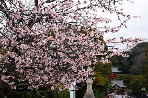 170315鶴岡八幡宮サクラ1
