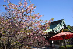 170308長谷寺カワヅザクラ