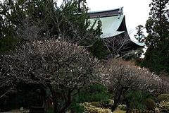 200305円覚寺ウメ
