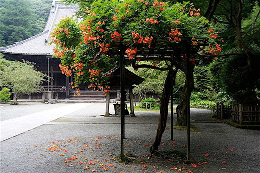 160713妙本寺ノウゼンカズラ1