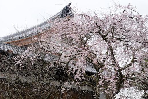 160324本覚寺シダレザクラ1