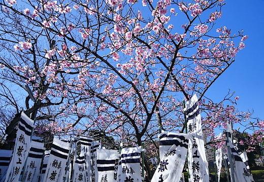 150311八幡宮カワヅサクラ