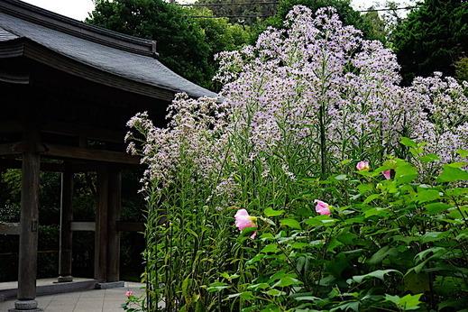 191015海蔵寺シオン1
