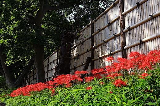 201002鶴岡八幡宮ヒガンバナ2