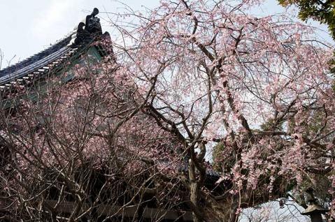 110330本覚寺シダレザクラ
