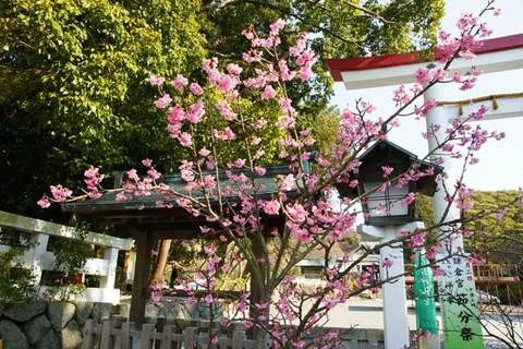 100131鎌倉宮カンヒザクラ