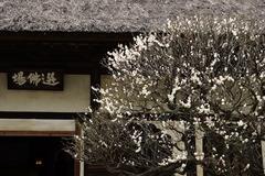 160215円覚寺円覚寺ウメ3