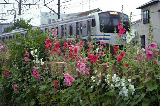 110608横須賀沿線タチアオイ