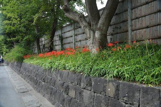 140917鶴岡八幡宮ヒガンバナ