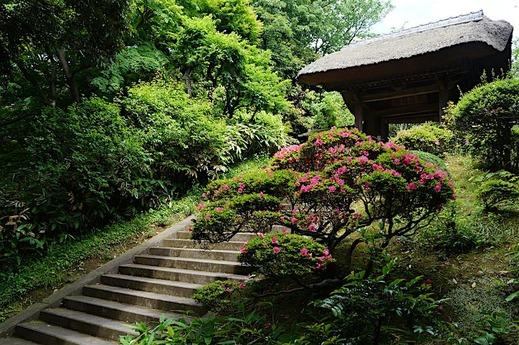 160529円覚寺サツキ