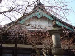 100320本覚寺シダレザクラ