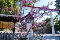 130305鎌倉宮カンヒザクラ