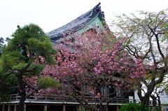 120417本覚寺ヤエザクラ