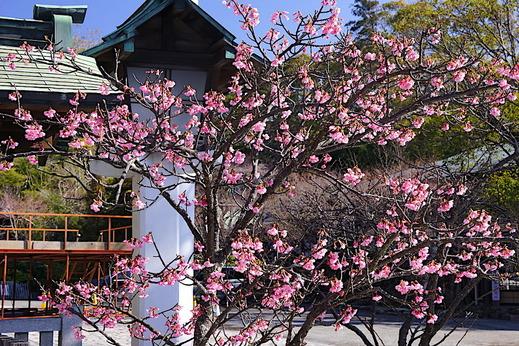 190202鎌倉宮カワヅザクラ