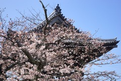 160331光明寺ソメイヨシノ3