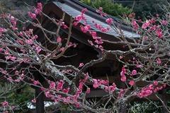 140211海蔵寺ウメ