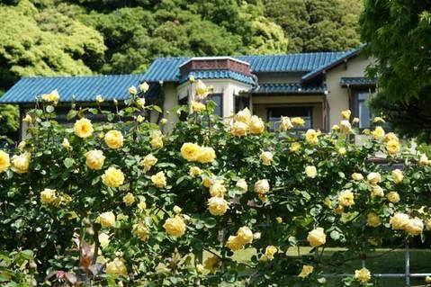 090509鎌倉文学館バラ