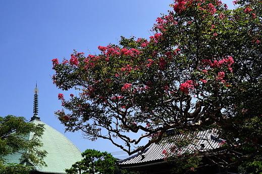 200825本覚寺サルスベリ