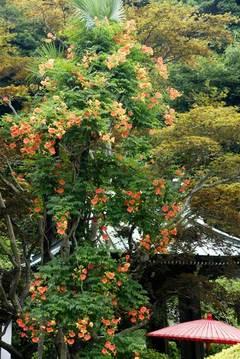 090711海蔵寺ノウゼンカズラ