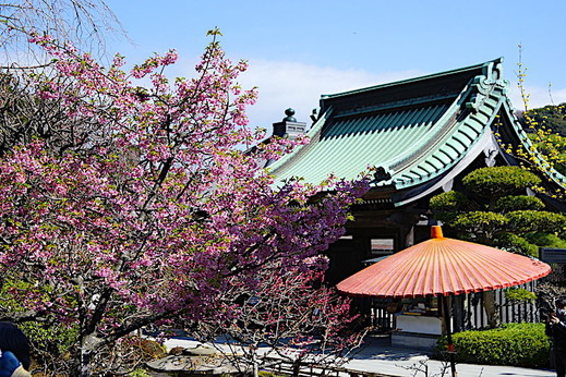 180311長谷寺カワヅサクラ