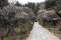 160306東慶寺ウメ2