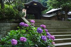 170626円覚寺アジサイ3