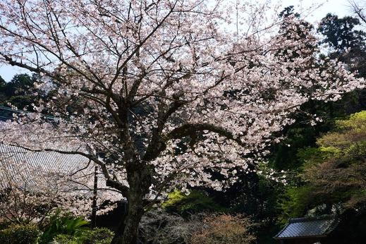 160331妙本寺ソメイヨシノ1