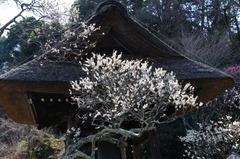 120321東慶寺ウメ3