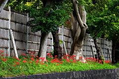 180924鶴岡八幡宮ヒガンバナ1