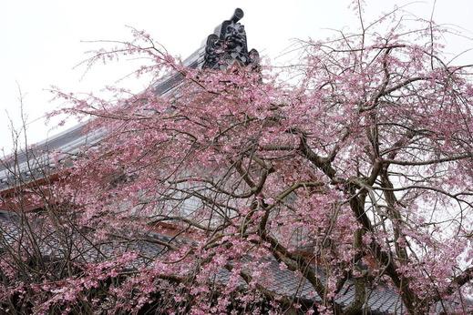 170329本覚寺シダレザクラ