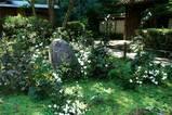 061008瑞泉寺シュウメイギク