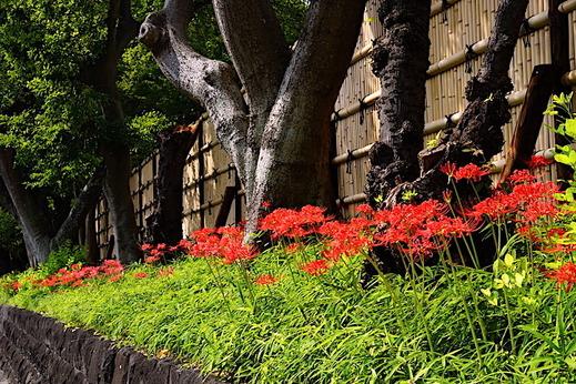 190930鶴岡八幡宮ヒガンバナ