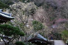 140321円覚寺ハクモクレン