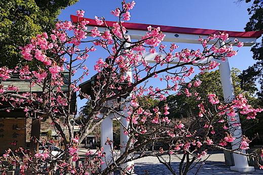 200121鎌倉宮カワヅザクラ