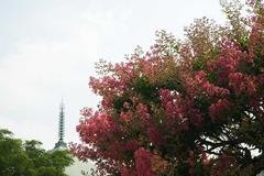 100724本覚寺サルスベリ1