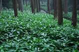 070722熊野神社ヤブミョウガ