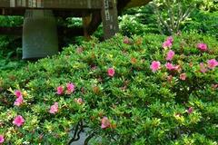 160518東慶寺サツキ