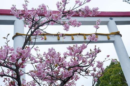 150308鎌倉宮カワヅサクラ